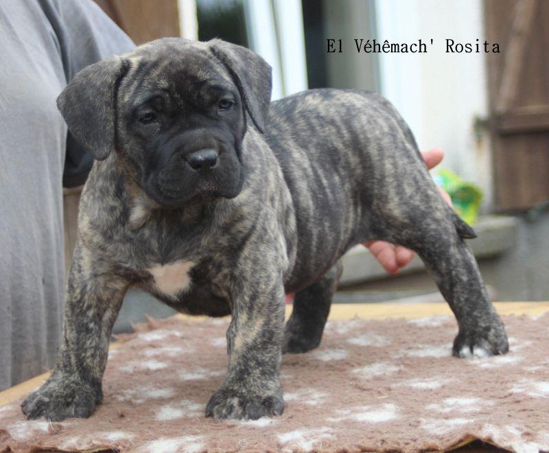 El Véhêmach' - Chiot disponible  - Dogo Canario