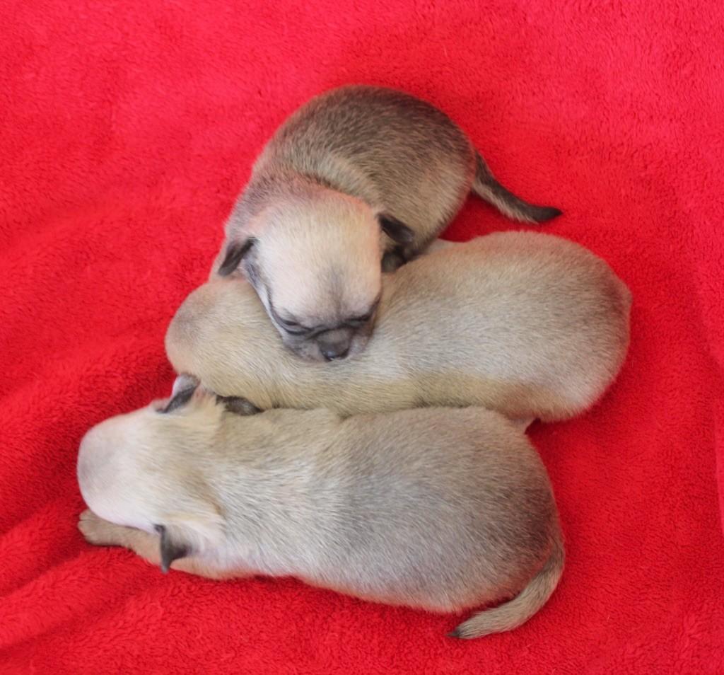 du Domaine San Sébastian - Chiot disponible  - Chihuahua