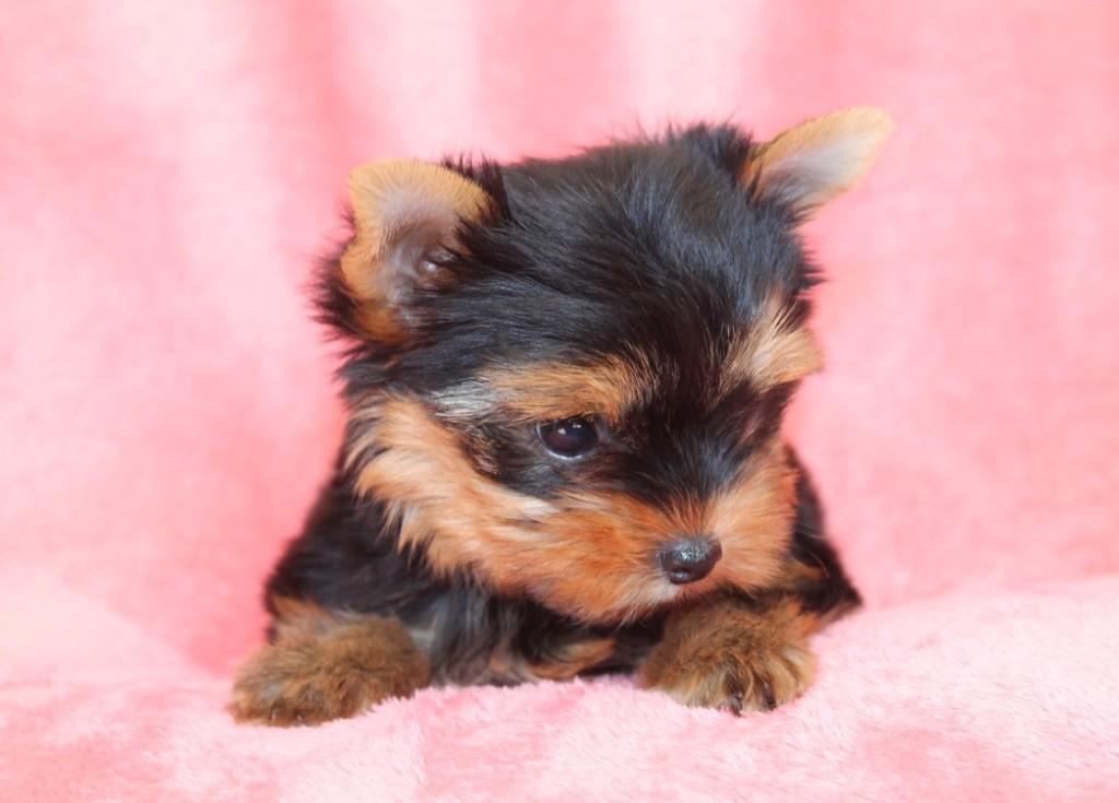 du Domaine San Sébastian - Chiot disponible  - Yorkshire Terrier