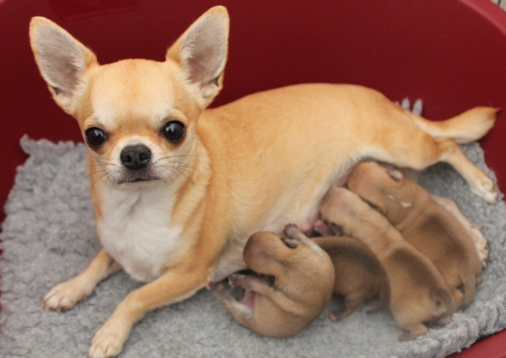 chiot Chihuahua du Domaine San Sébastian