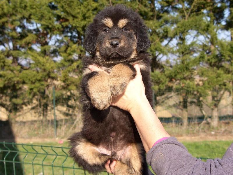 de la cité des bas rouges - Chiot disponible  - Dogue du Tibet
