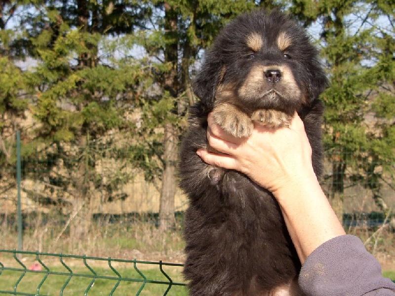 CHIOT - Dogue du Tibet