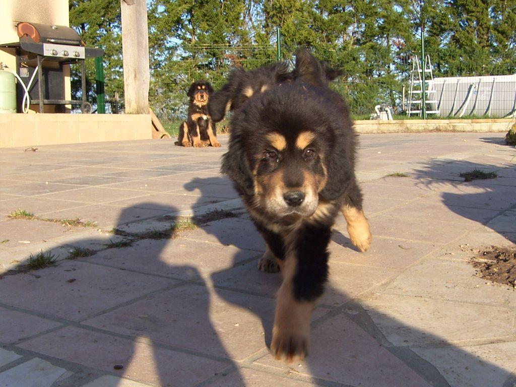MATRIX JIGME - Dogue du Tibet