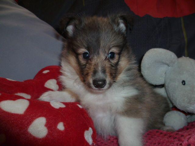 chiot Shetland Sheepdog des Jardins de Becky