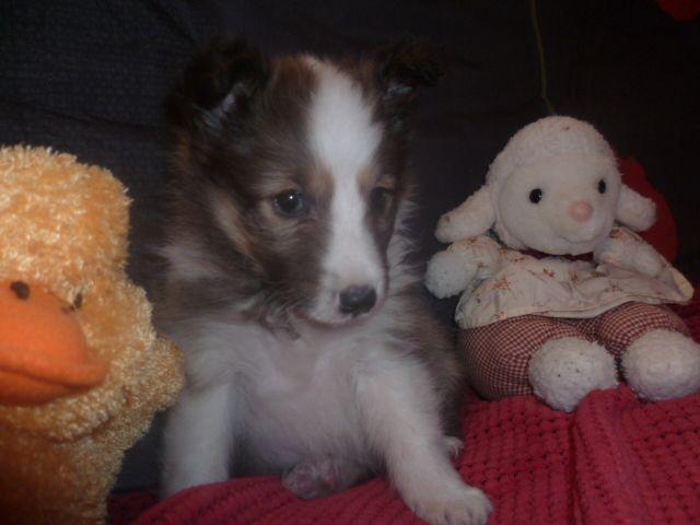 des Jardins de Becky - Shetland Sheepdog - Portée née le 30/01/2017