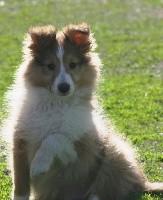 des Jardins de Becky - Shetland Sheepdog - Portée née le 03/02/2018