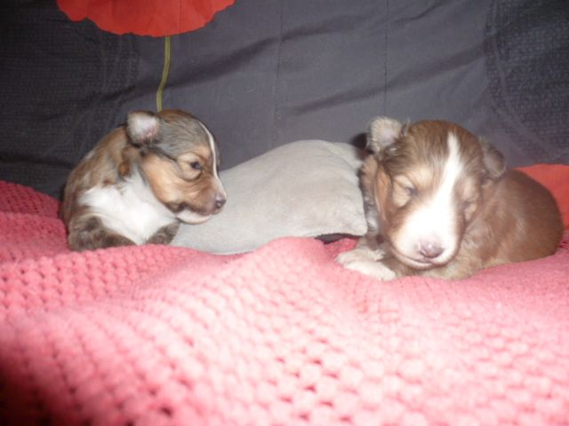 des Jardins de Becky - Shetland Sheepdog - Portée née le 13/11/2017