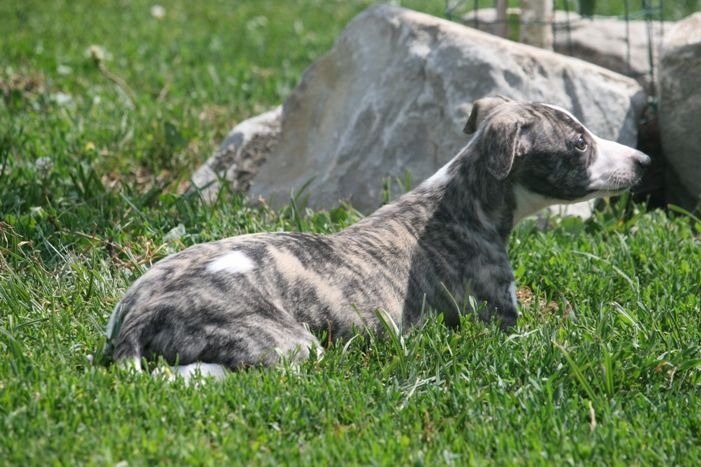 PERLE - Whippet