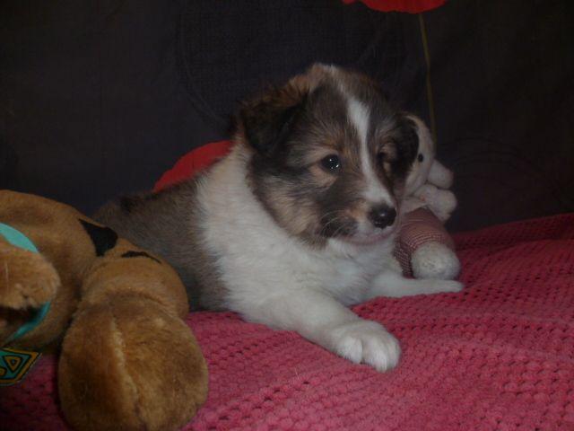des Jardins de Becky - Chiot disponible  - Shetland Sheepdog