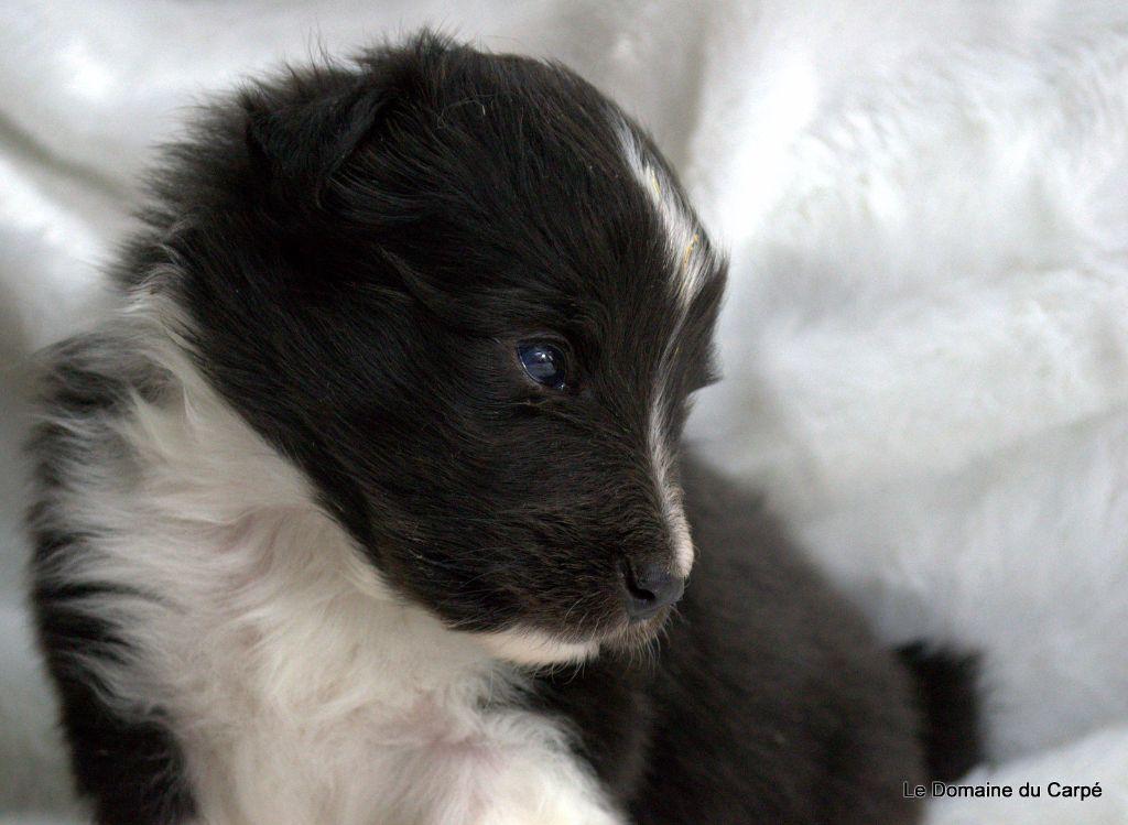 du Domaine du Carpé - Chiot disponible  - Shetland Sheepdog