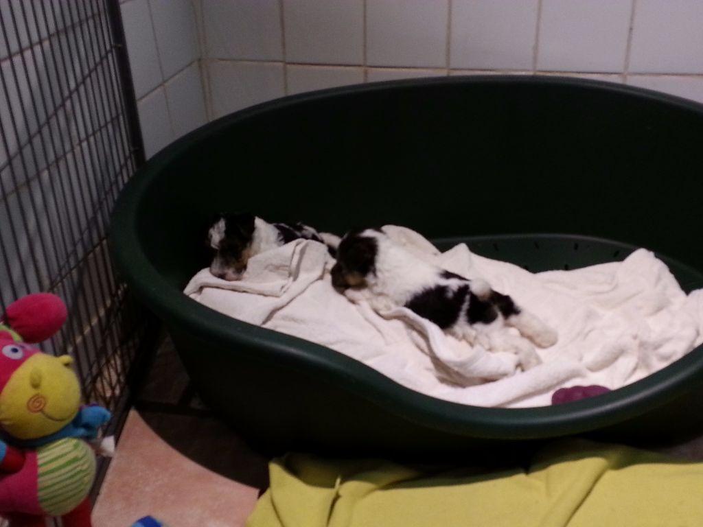 Blue Celtics - Chiot disponible  - Fox Terrier Poil Dur