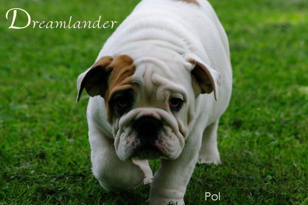 Dreamlander - Chiot disponible  - Bulldog Anglais
