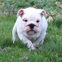 New Soul - Chiot disponible  - Bulldog Anglais