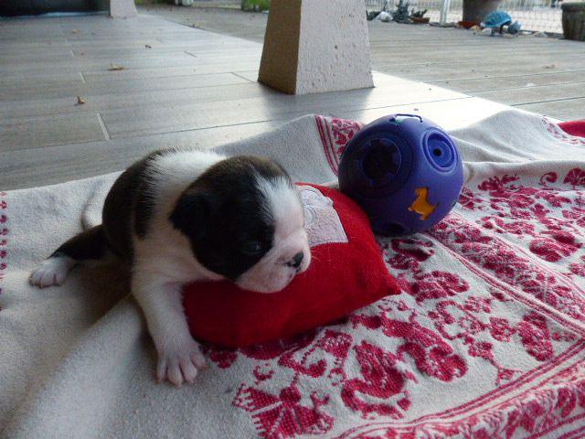 CHIOT - Boston Terrier