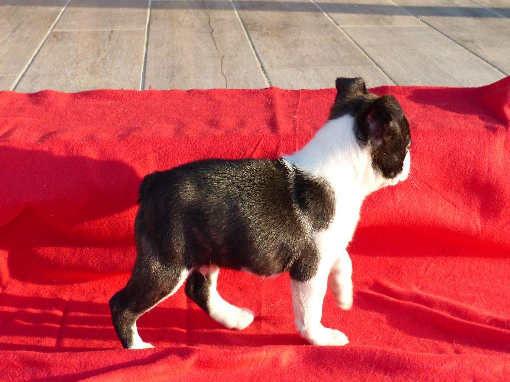 OCTAVIUS OF DARLING DOG  - Boston Terrier