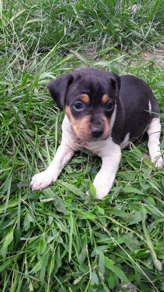 du domaine des Mandets - Chiot disponible  - Terrier Bresilien