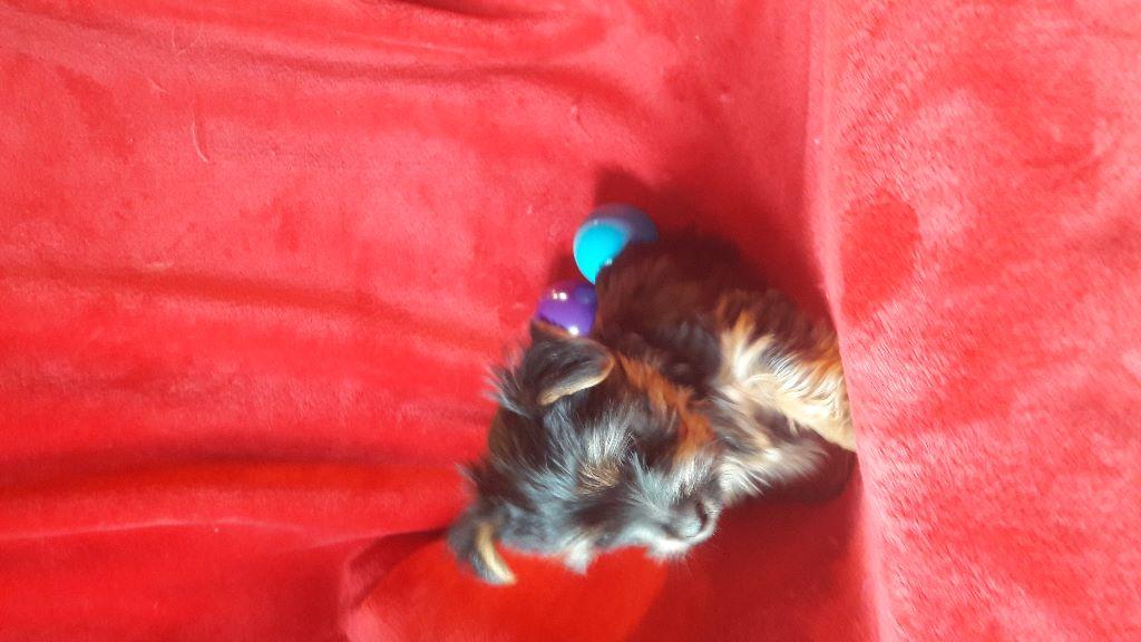 du domaine des Mandets - Chiot disponible  - Australian Silky Terrier