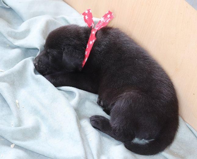 Bébé Labrador Noir - Labrador Retriever