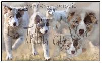 La tribu du vent - Chiot disponible  - Berger Australien