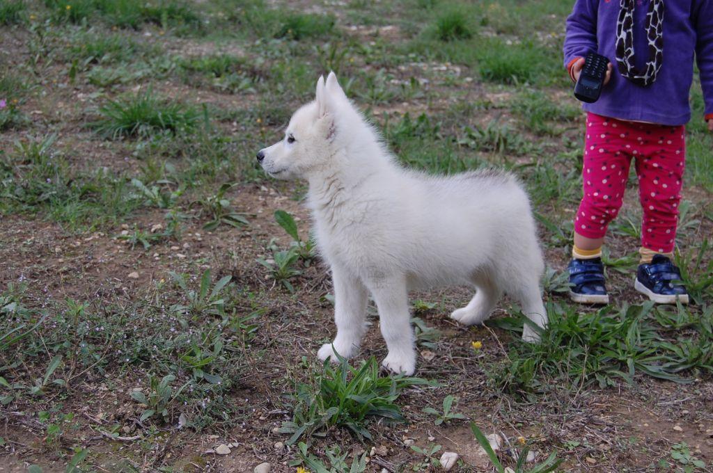 Bcbg belle carrure belle gueule - Siberian Husky - Portée née le 17/07/2020