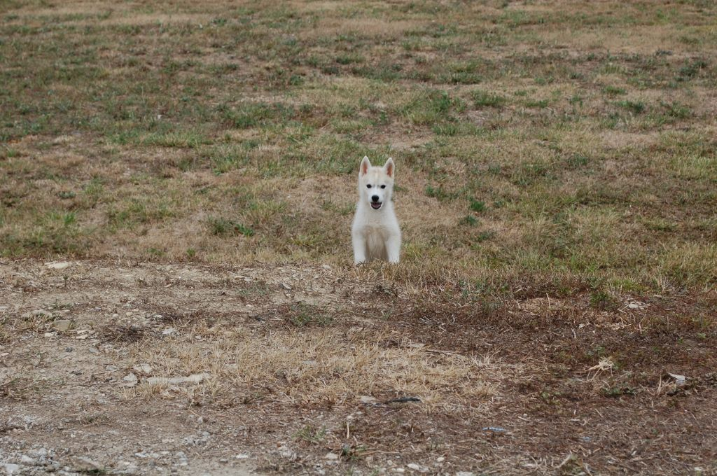 Bcbg belle carrure belle gueule - Siberian Husky - Portée née le 06/06/2020