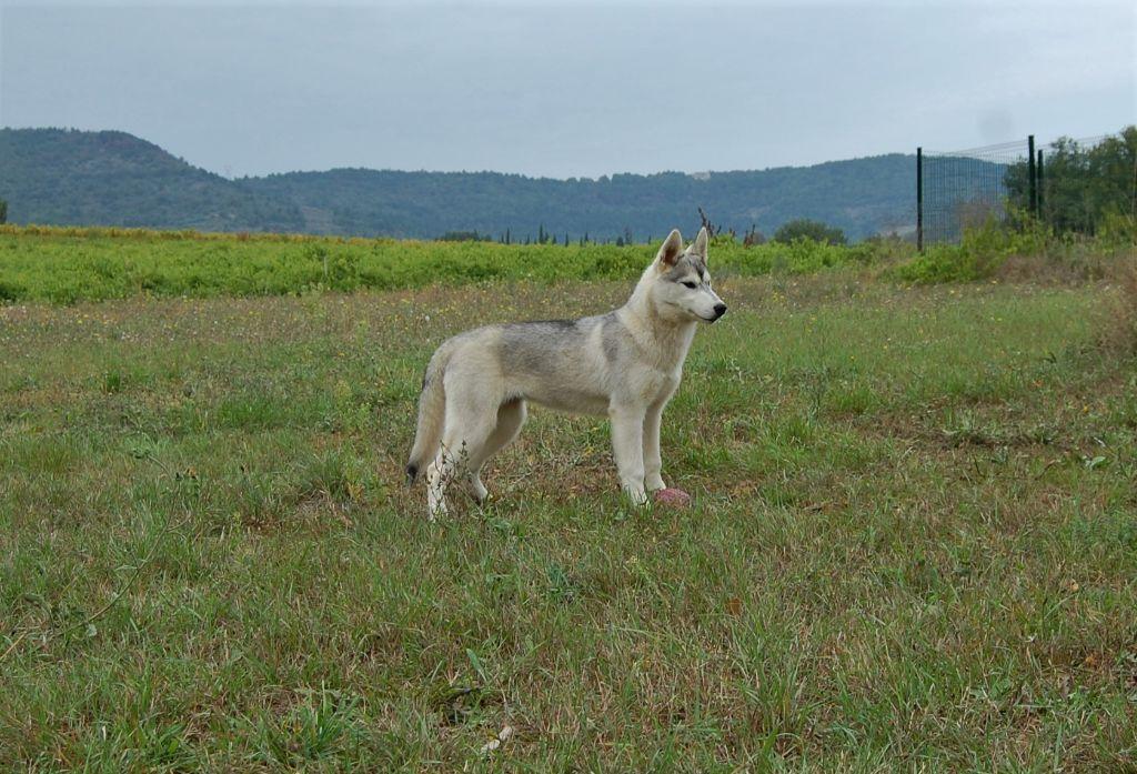 Bcbg belle carrure belle gueule - Chiot disponible  - Siberian Husky