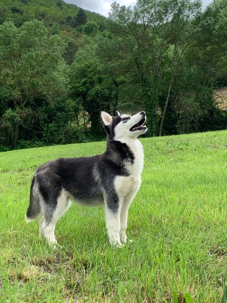 Bcbg belle carrure belle gueule - Siberian Husky - Portée née le 07/01/2020