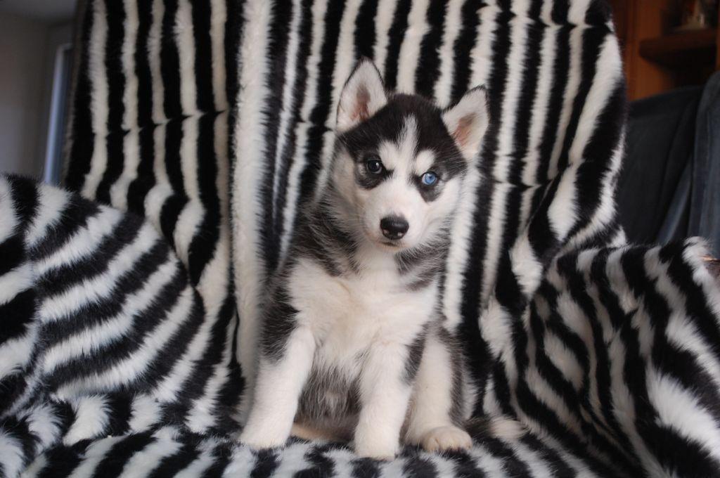 Bcbg belle carrure belle gueule - Siberian Husky - Portée née le 15/10/2020
