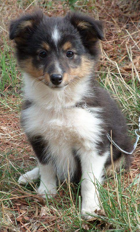 Of blue tails - Chiot disponible  - Shetland Sheepdog