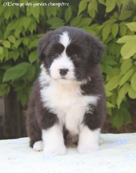 Des gardes champetres - Chiot disponible  - Bearded Collie