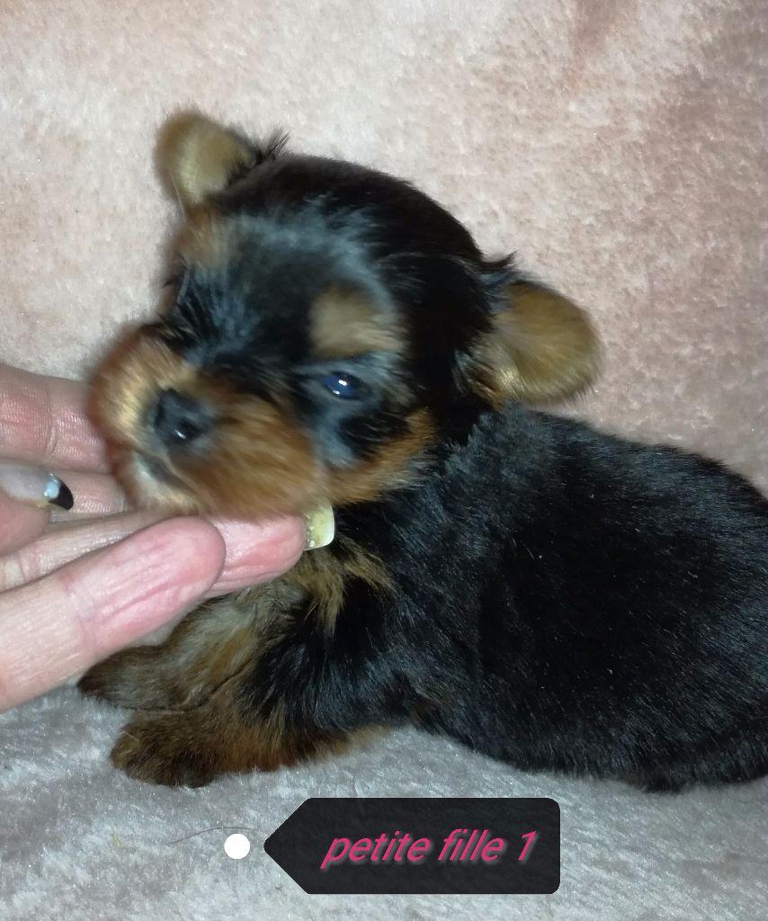 De la vallée sacré - Chiot disponible  - Yorkshire Terrier