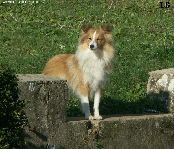 photo elevage des mille eclats des tournesol eleveur de chiens shetland sheepdog. Black Bedroom Furniture Sets. Home Design Ideas