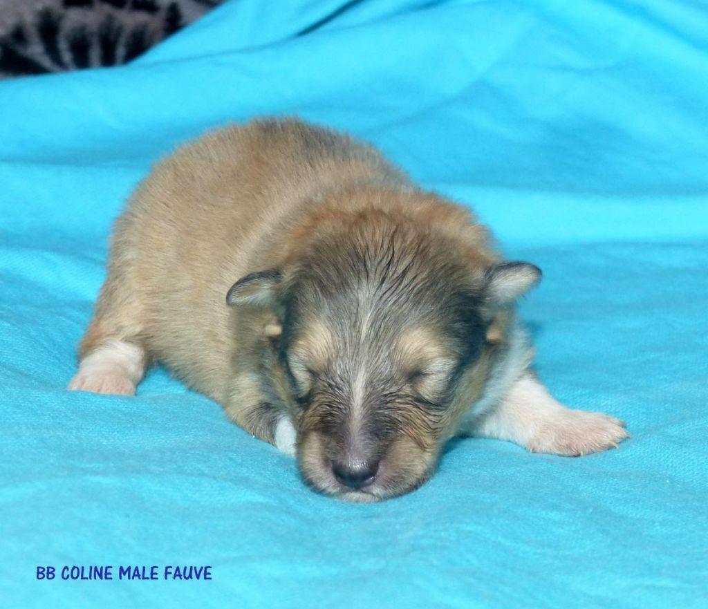 chiot Shetland Sheepdog Des mille eclats des tournesol