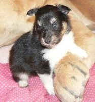 Des mille eclats des tournesol - Chiot disponible  - Shetland Sheepdog