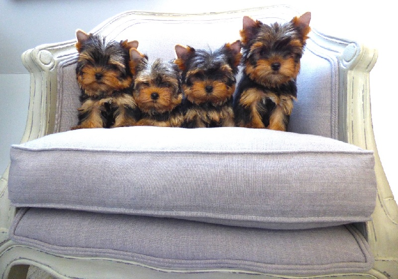 Accueil - Elevage de Yorkshire Terrier Toy : Oki Square