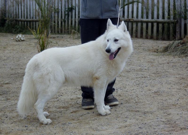 cute of trebons berger blanc chien de race toutes races en. Black Bedroom Furniture Sets. Home Design Ideas