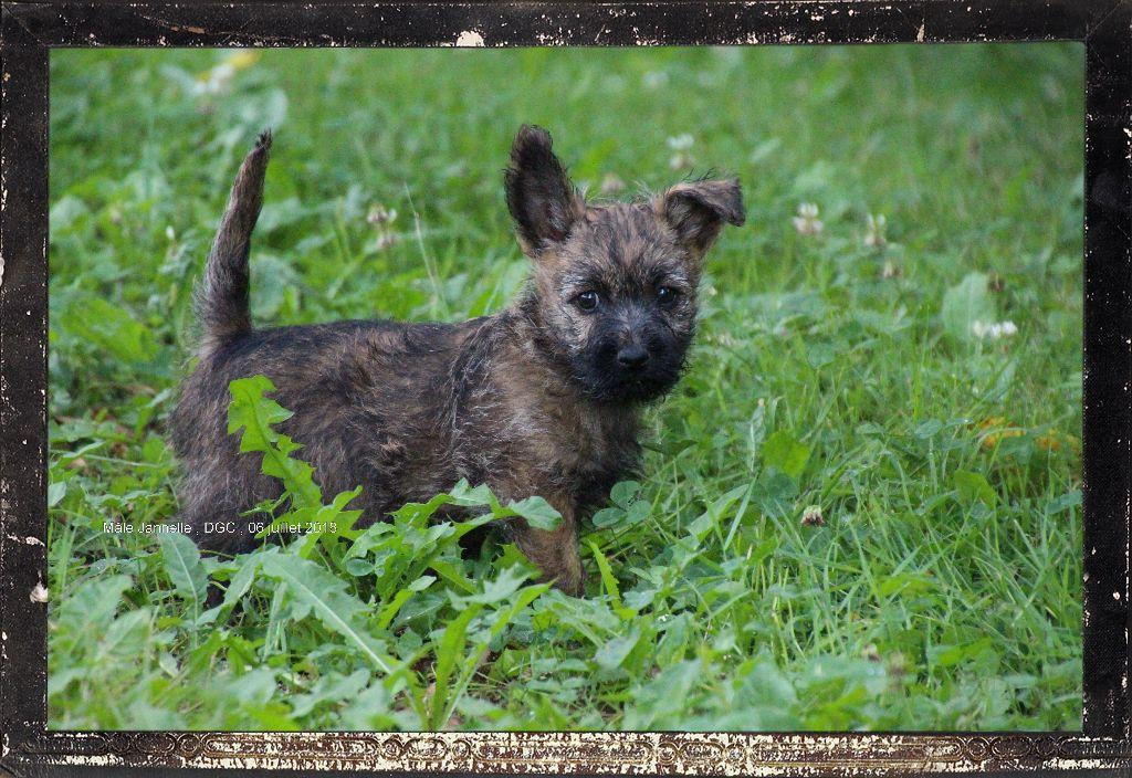 Des guerriers chippewas - Chiot disponible  - Cairn Terrier