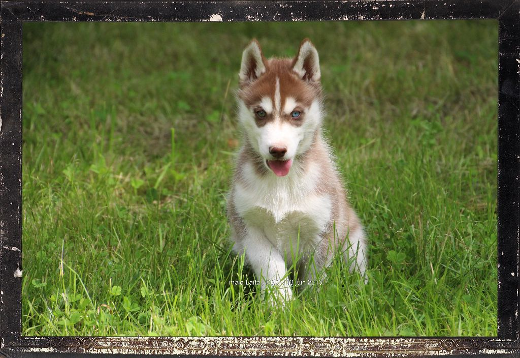 chiot Siberian Husky Des guerriers chippewas