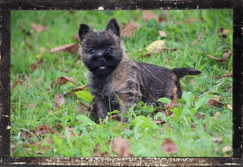 chiot Cairn Terrier Des guerriers chippewas