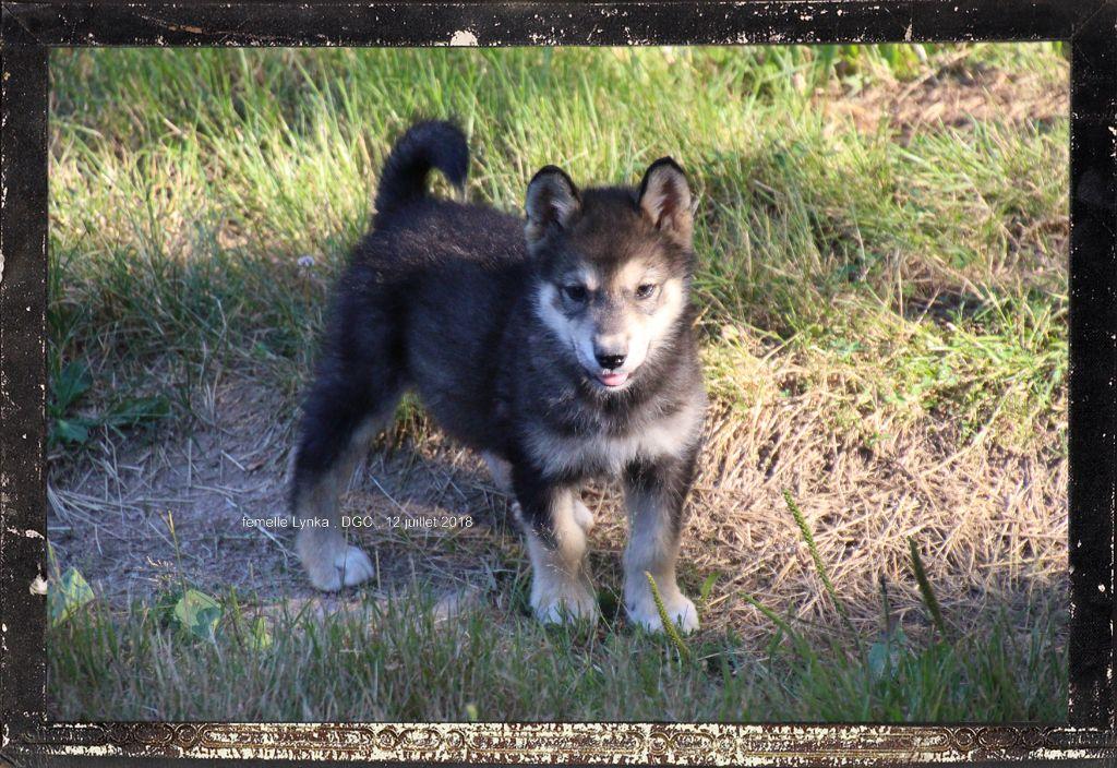 Des guerriers chippewas - Chiot disponible  - Alaskan Malamute