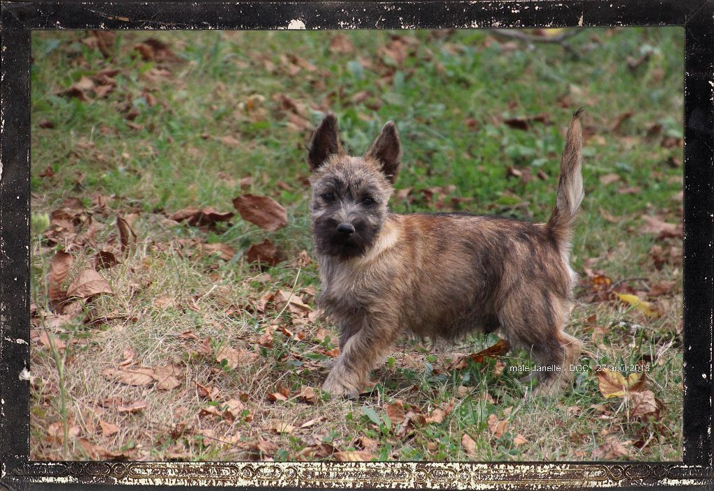 Des guerriers chippewas - Chiot disponible  - Cairn Terrier