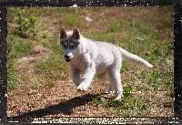 Des guerriers chippewas - Siberian Husky - Portée née le 24/03/2018