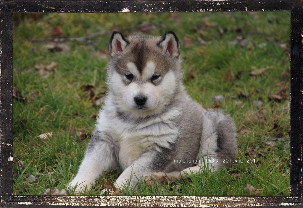 chiot elevage des guerriers chippewas eleveur de chiens alaskan malamute. Black Bedroom Furniture Sets. Home Design Ideas