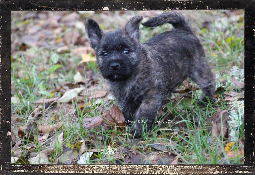 Des guerriers chippewas - Cairn Terrier - Portée née le 23/09/2018
