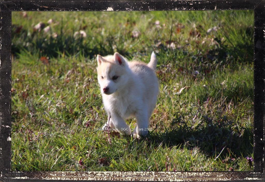 Des guerriers chippewas - Chiot disponible  - Siberian Husky