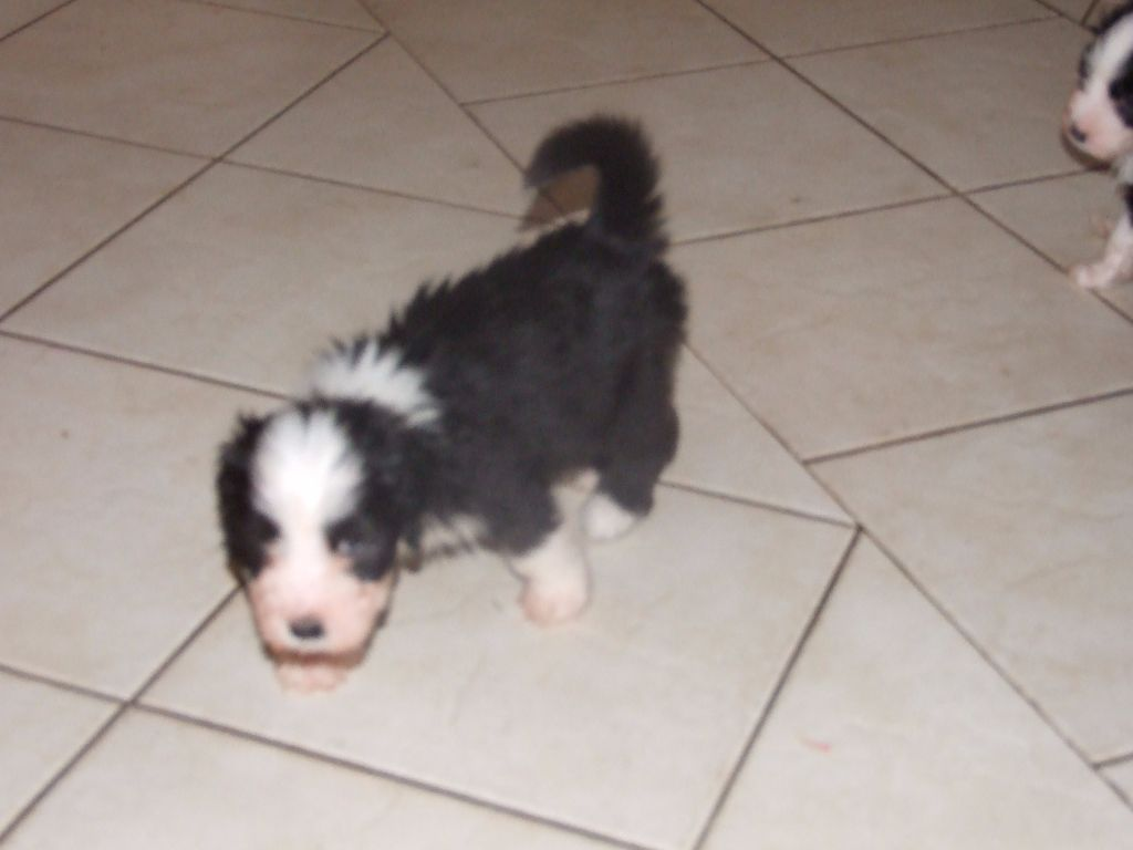 Los pitchous brensol - Chiot disponible  - Bearded Collie