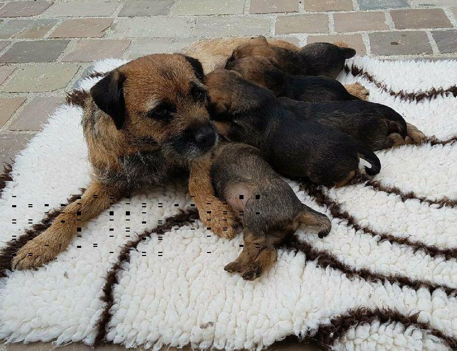 Glen mara - Chiot disponible  - Border Terrier