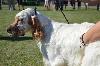 - Nationale d'élevage Setter Anglais 2016 Combronde