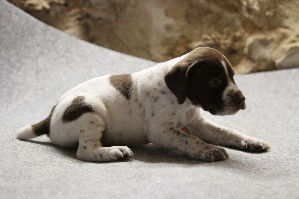 du Milobre de Bouisse - Chiot disponible  - Braque français, type Pyrenees (petite taille)