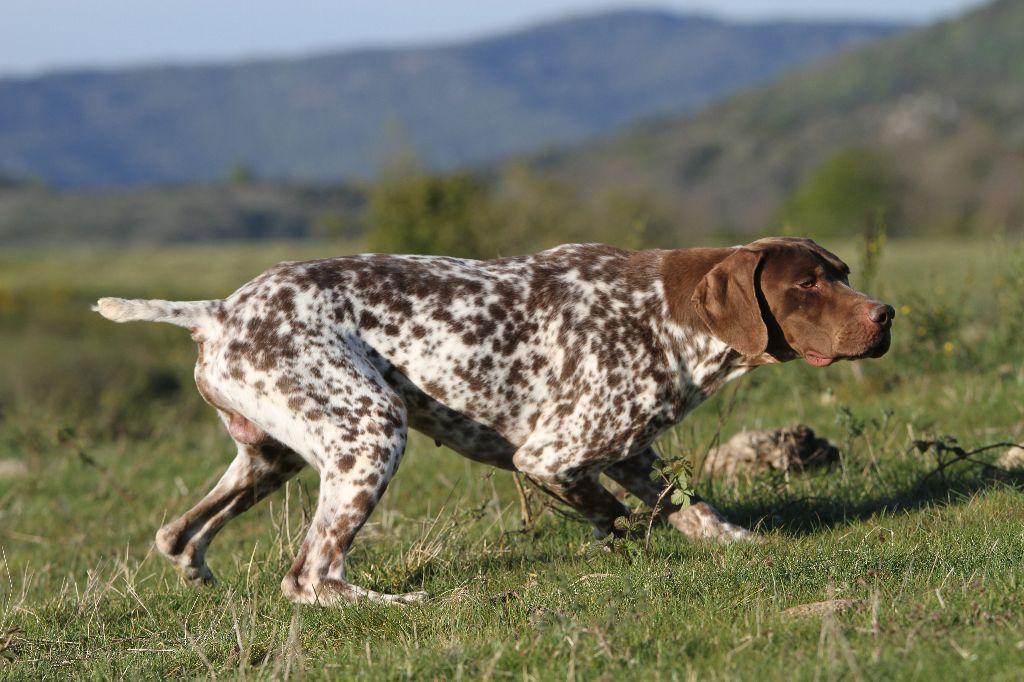 chiot Braque français, type Pyrenees (petite taille) du Milobre de Bouisse